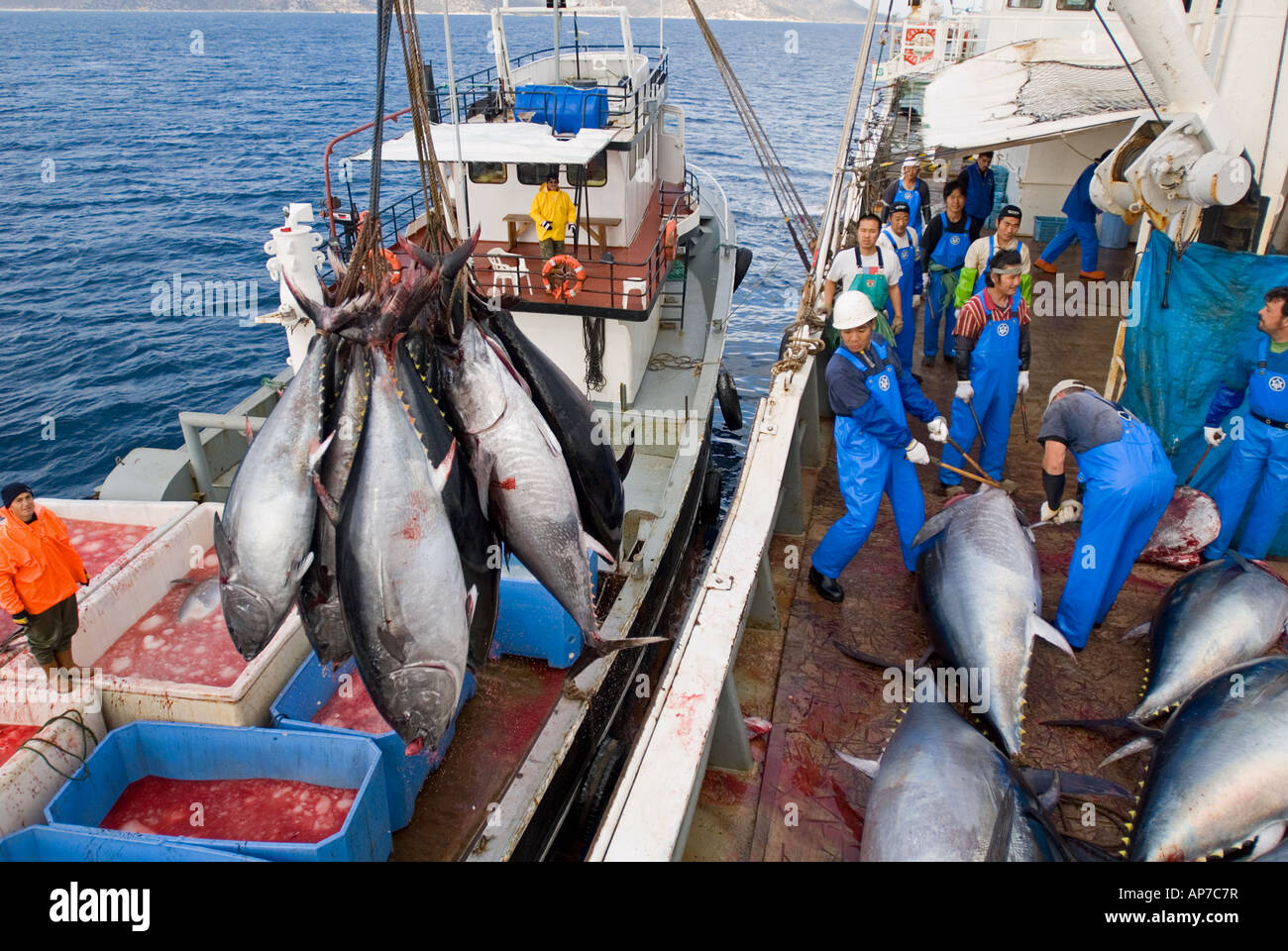 Bluefin tunas transported to japanese fish factory ship in for How to ship fish