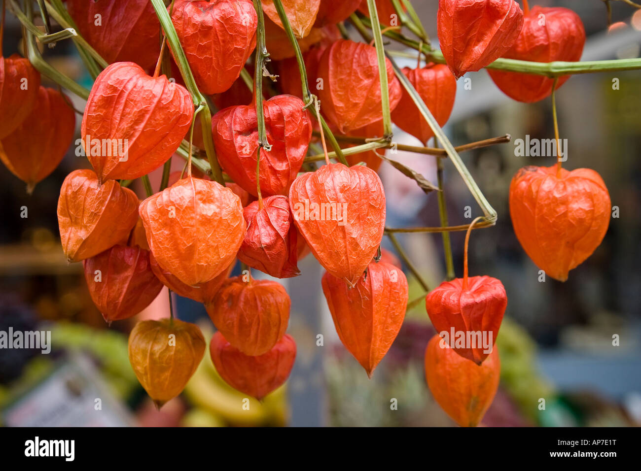 dry japanese lantern flowers physalis alkekengi stock photo, Beautiful flower