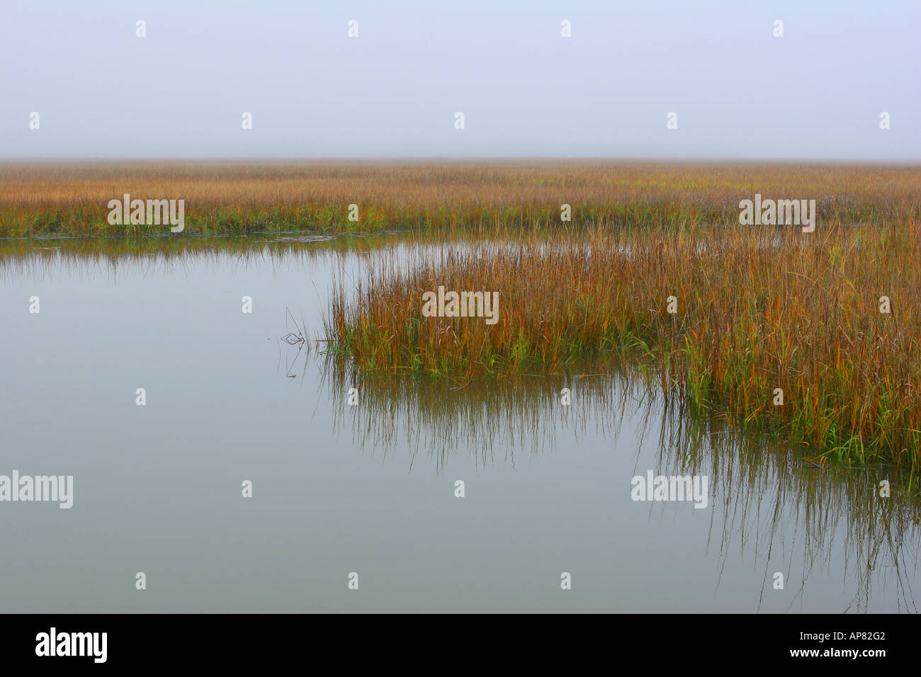 saltmarsh cordgrass spartina alterniflora in fall winter