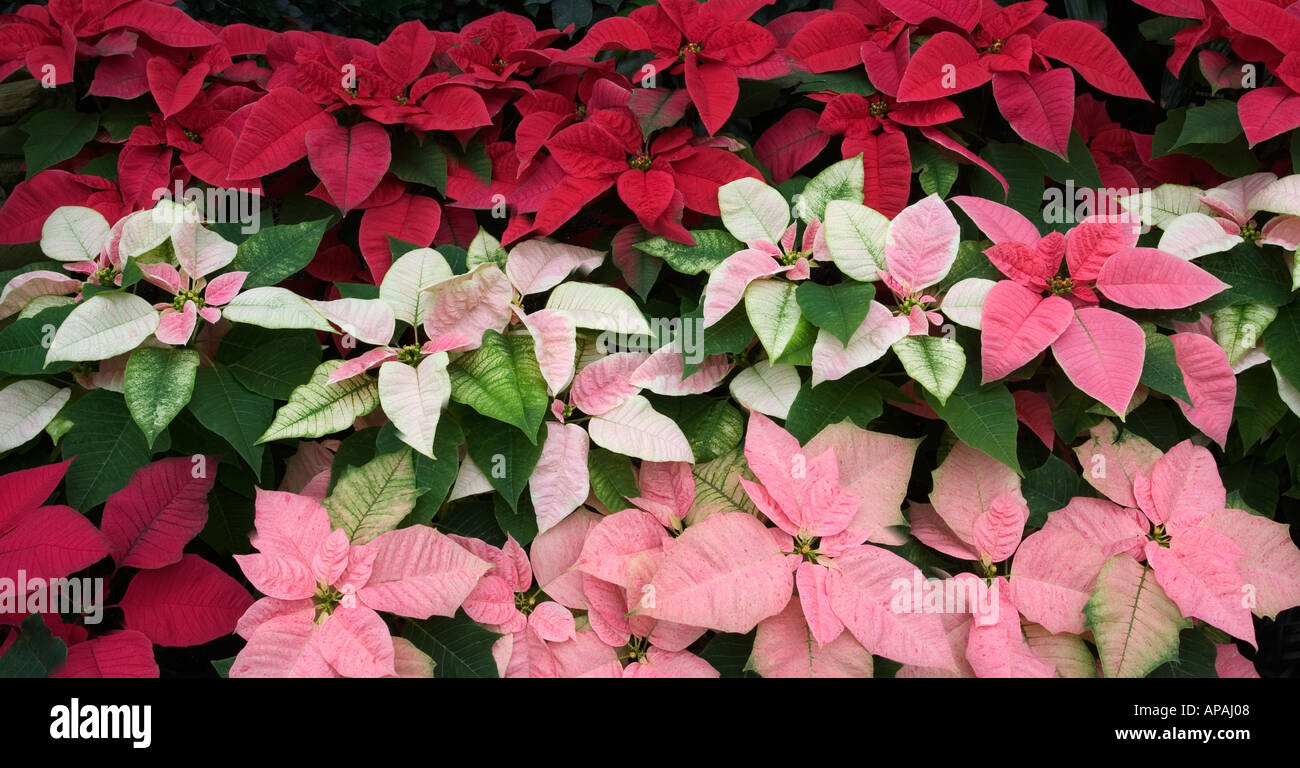 panoramic image of pink red and white poinsettia plants in
