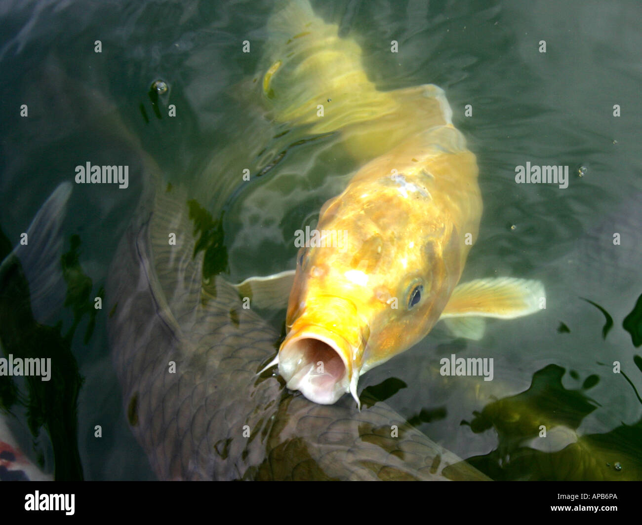 a golden koi carp with its mouth open stock photo royalty