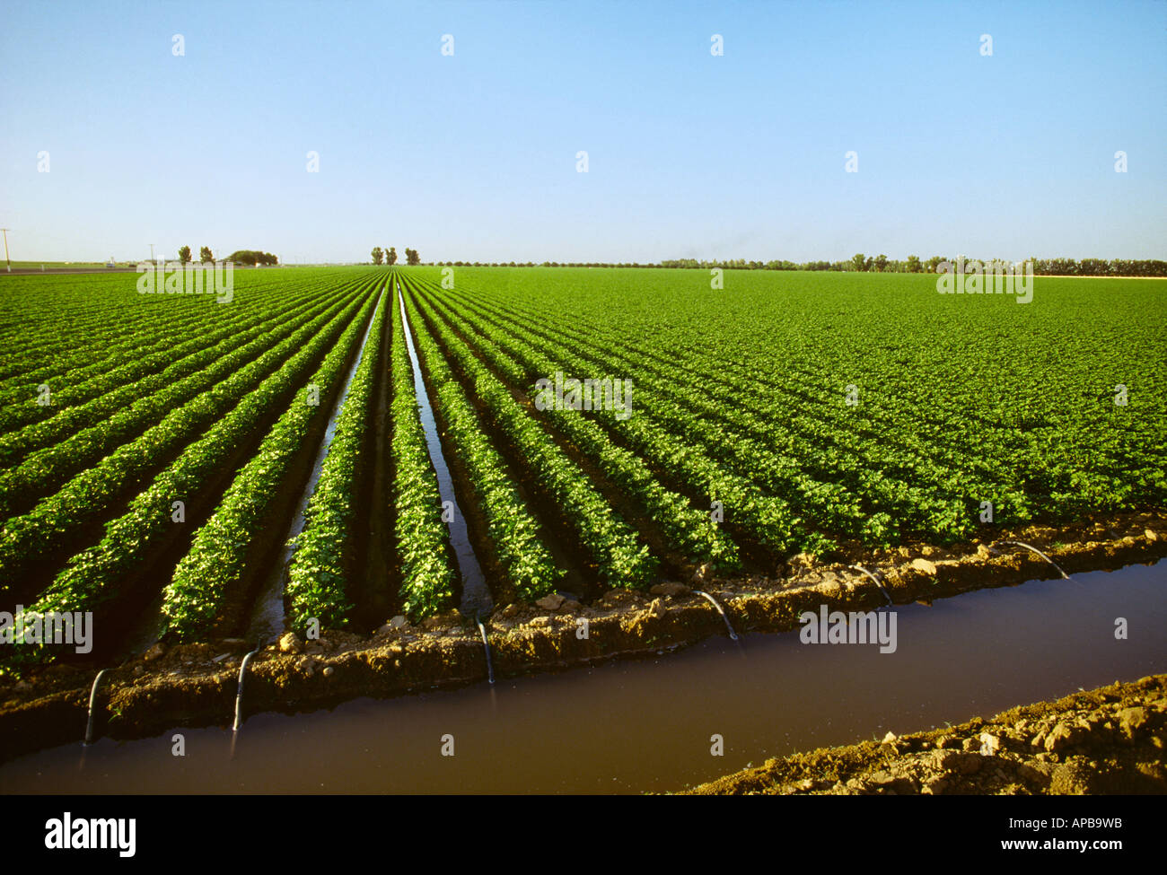 Agricultural Irrigation Canal : Agriculture mid growth cotton field being furrow