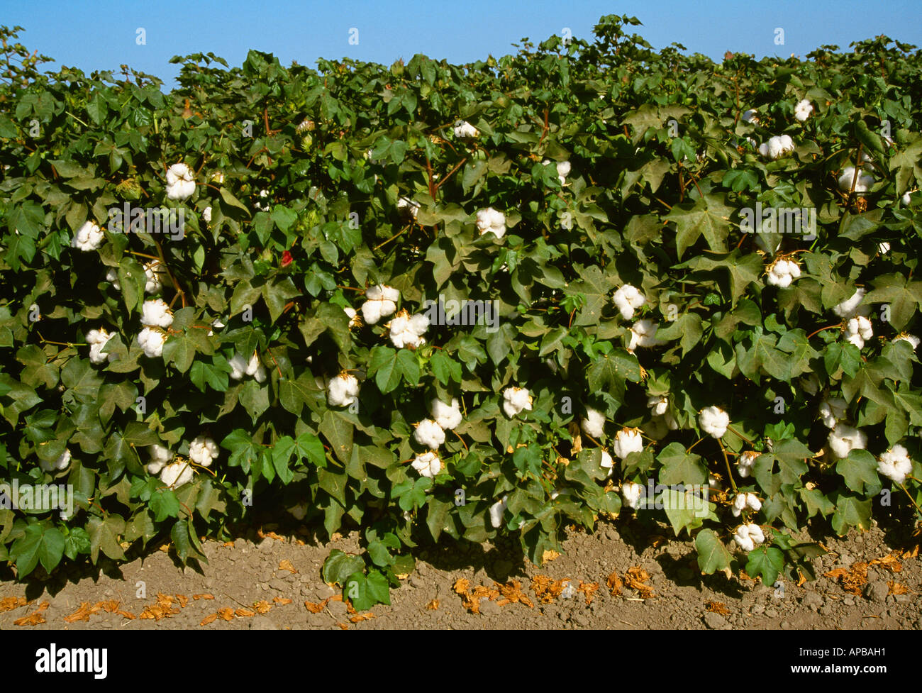 Side view of a row of mature cotton plants in late summer with