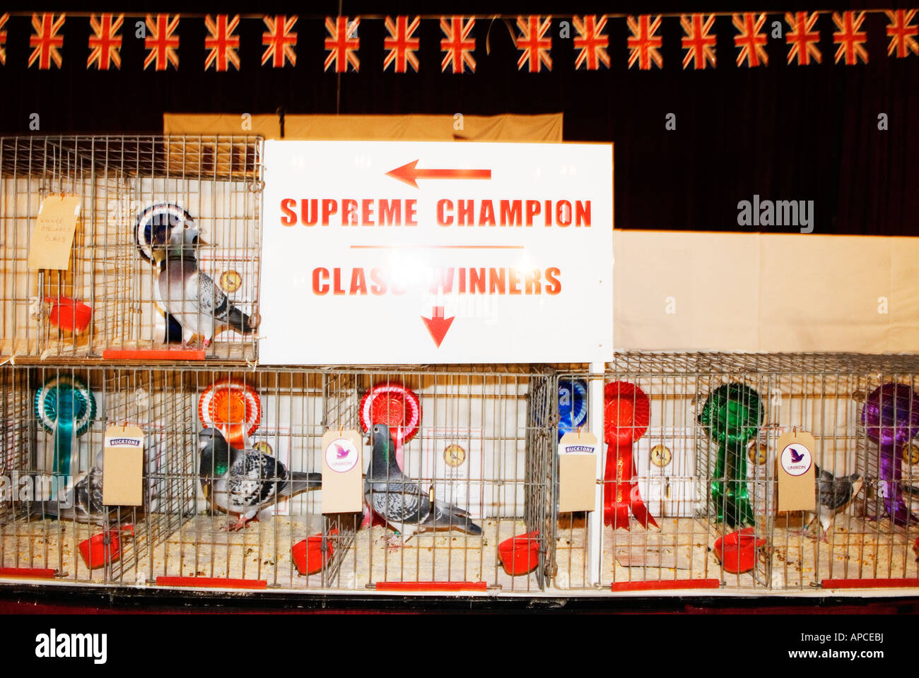 blackpool pigeon show held in the winter gardens stock photo