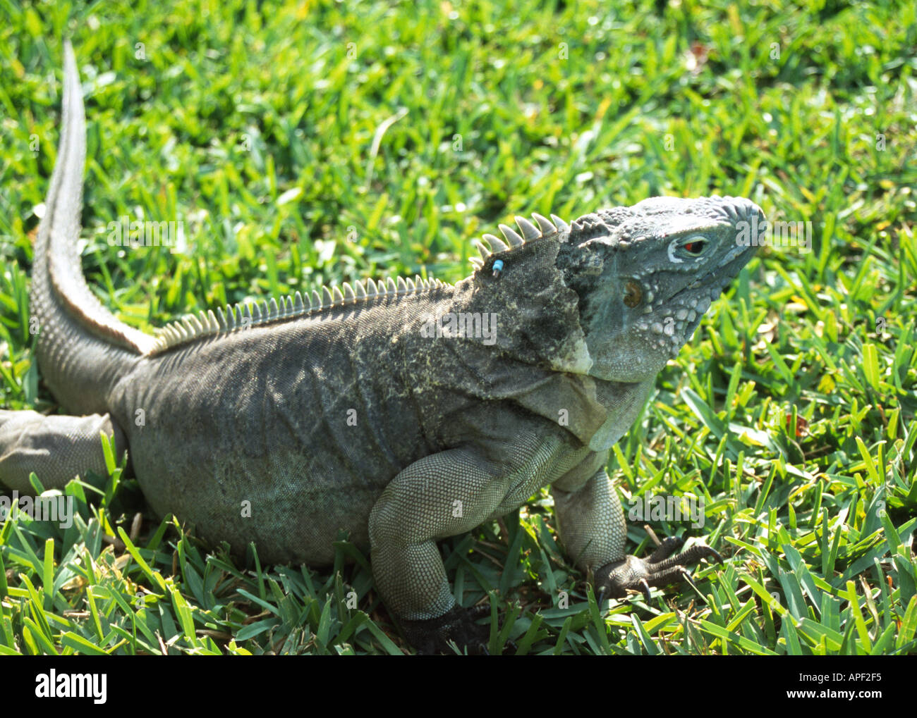 Blue Iguana Queen Elizabeth II Botanical Gardens Grand Cayman BWI Caribbean