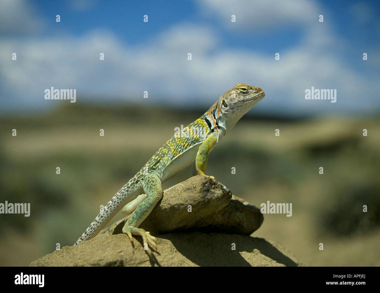Wallpaper Crotaphytus collaris, Mexico, Lizard, colorful, stone ...