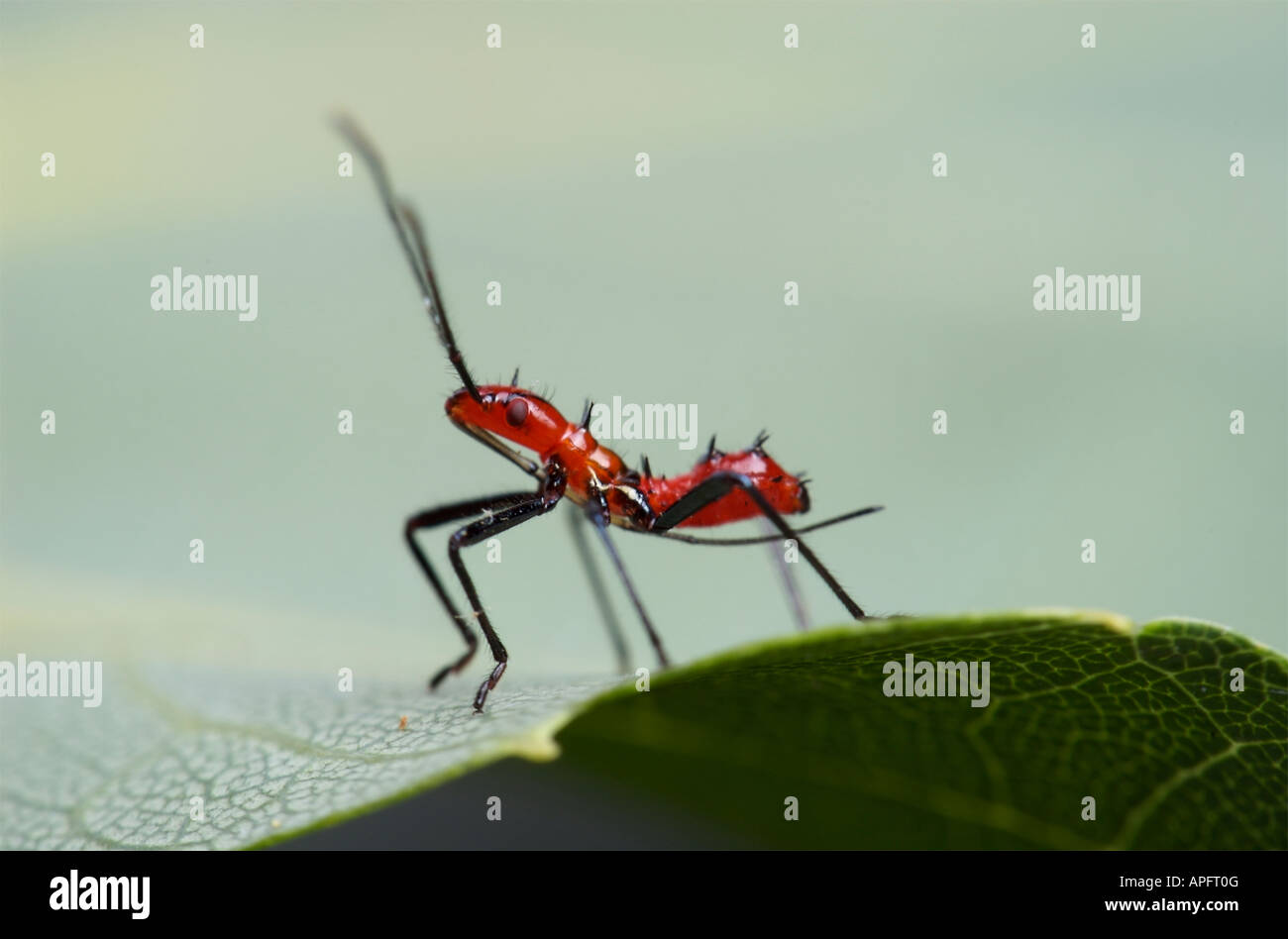 Leaf-footed bug nymph has a red body with black spikes and a long ...