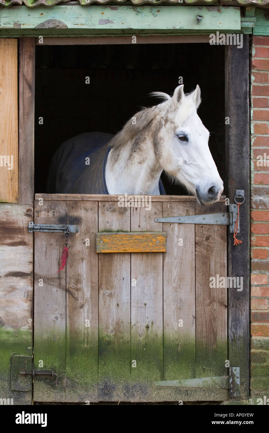 White horse behind a wooden stable door - Stock Image & Horse Looking Out Barn Door Stock Photos u0026 Horse Looking Out Barn ... pezcame.com
