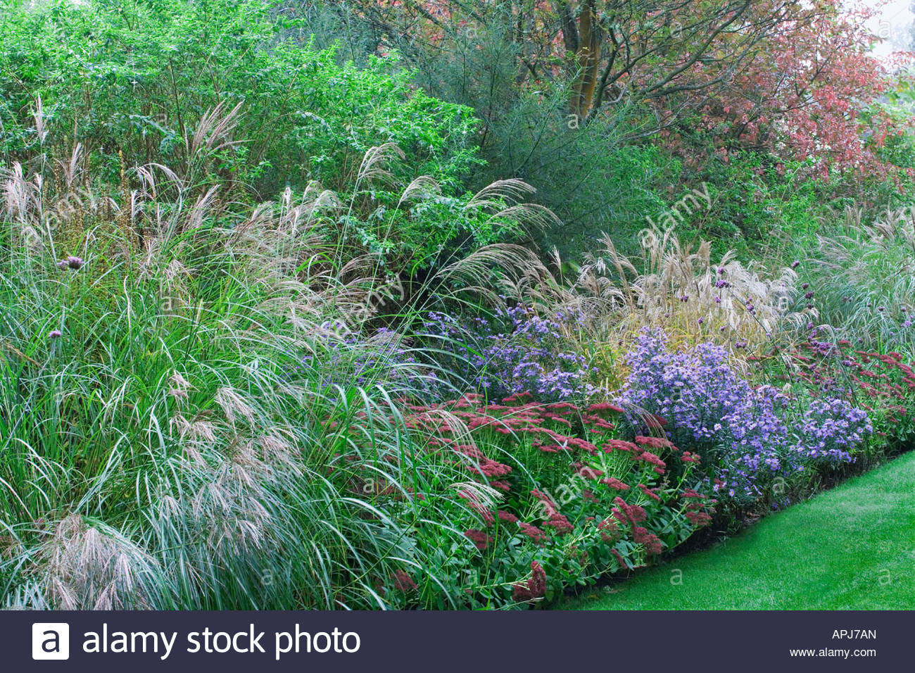 Ornamental grasses border miscanthus sinensis aster for Tall border grass