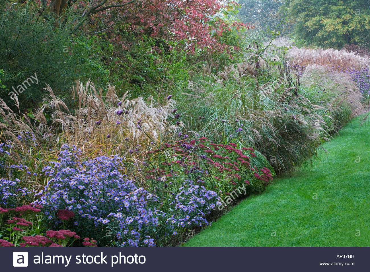 Ornamental grasses border miscanthus sinensis aster for Tall grass border