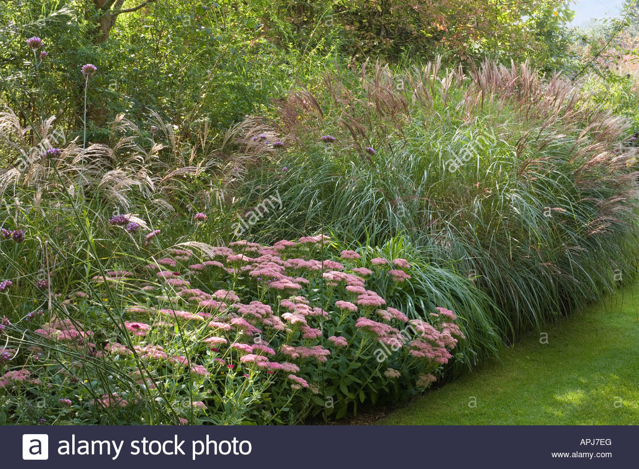 Ornamental grasses border sedum spectabile verbena for Tall grass border
