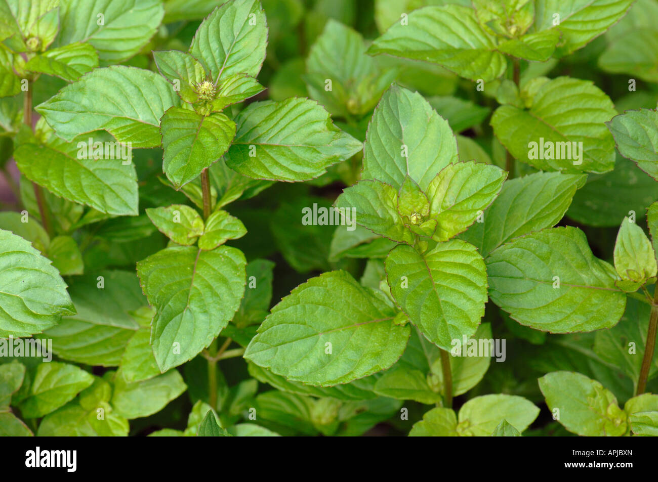 lemon mint bergamot mint mentha x citrata mentha x piperita stock photo royalty free image. Black Bedroom Furniture Sets. Home Design Ideas