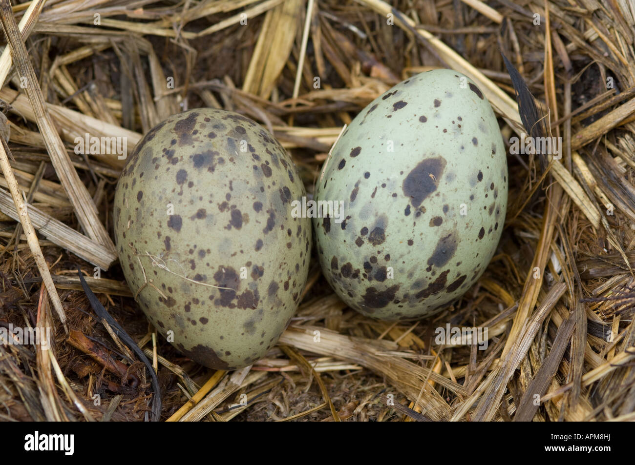 Blackish Oystercatcher (Haematopus ater) nest with an egg Carcass ...