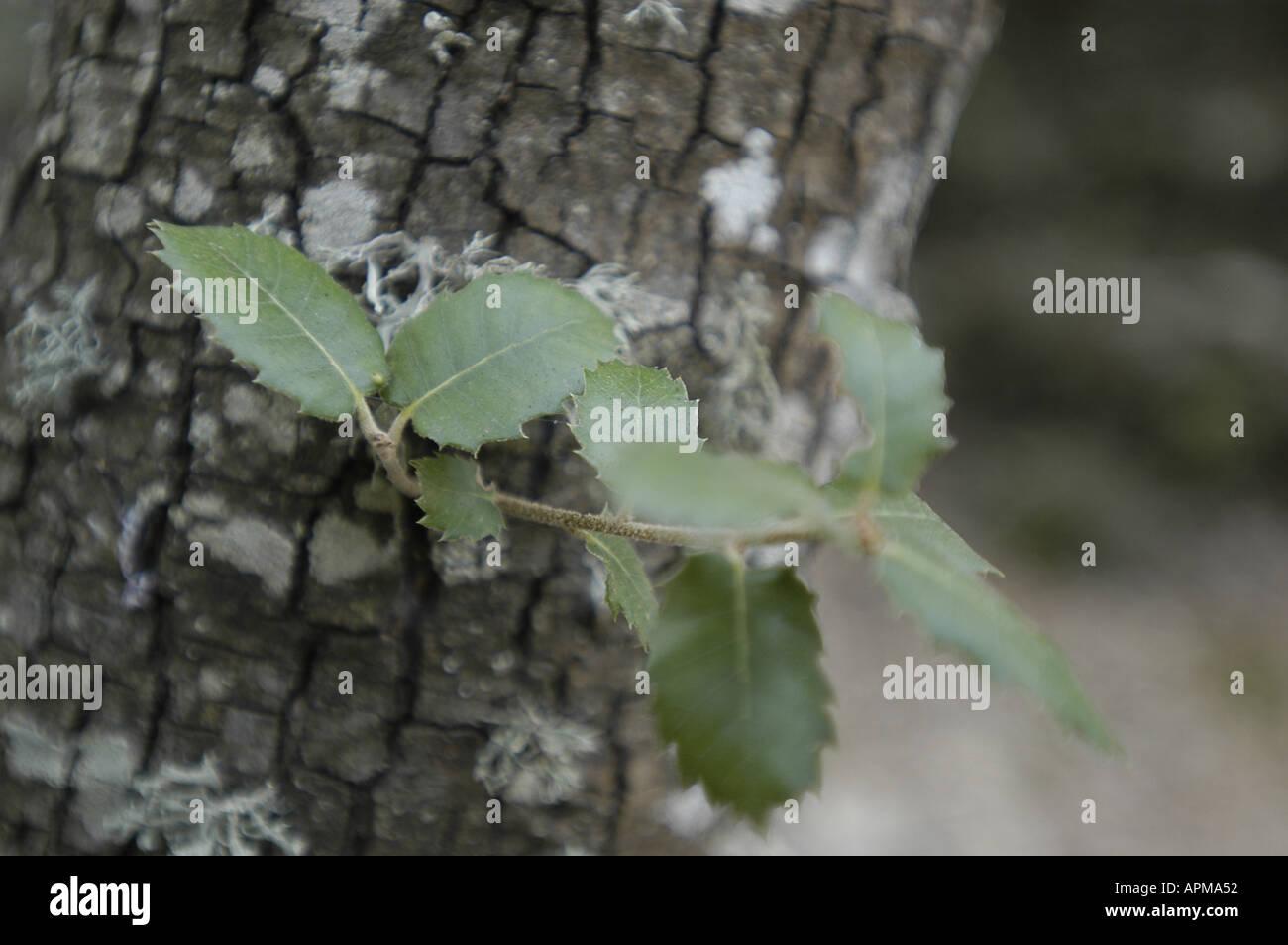 Apm Mallorca quercus ilex encina alzina corn tree mallorca majorca spain balearic