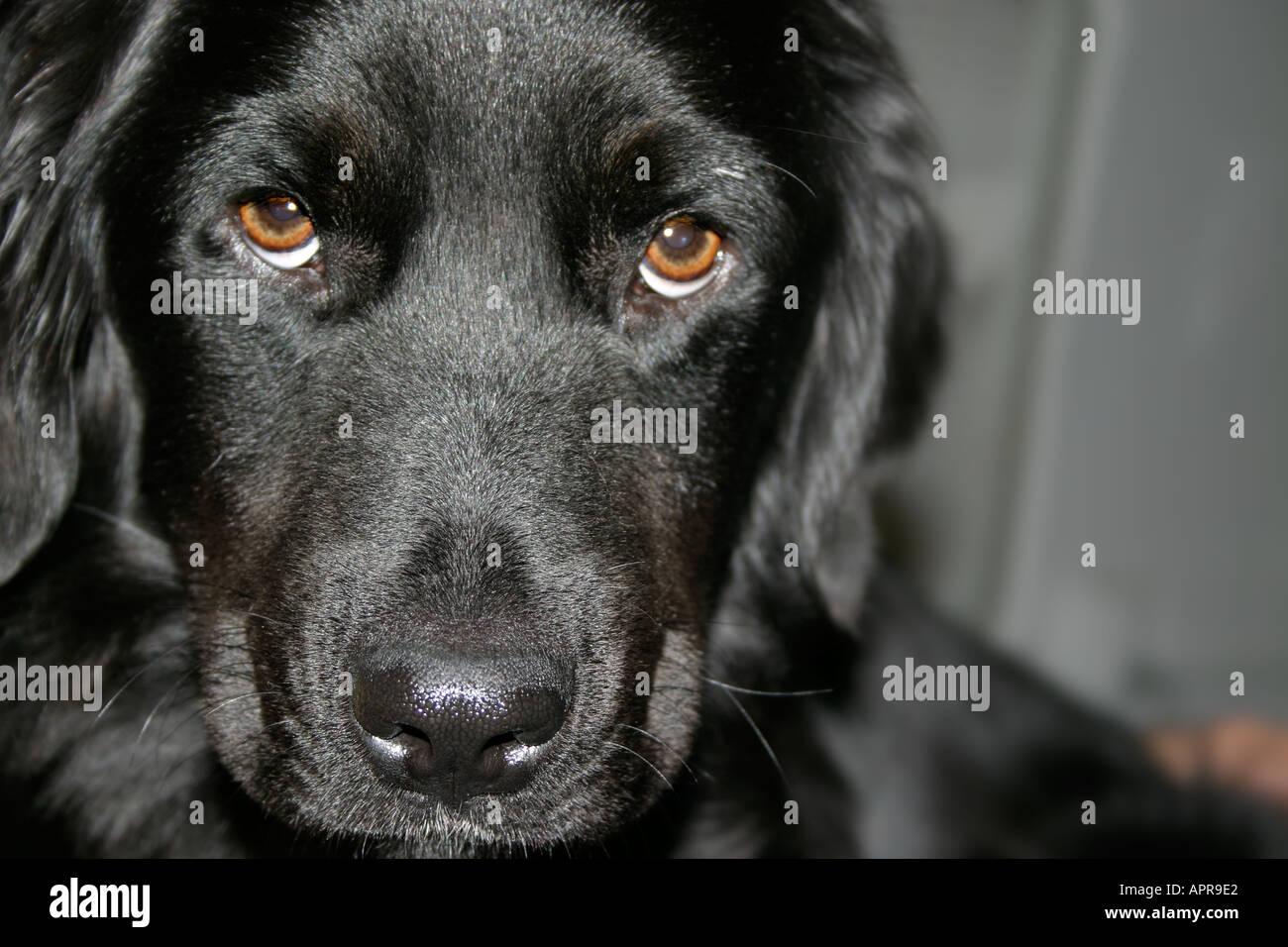 dog puppy sad puppydog canine black blackdog wet nose floppy ears
