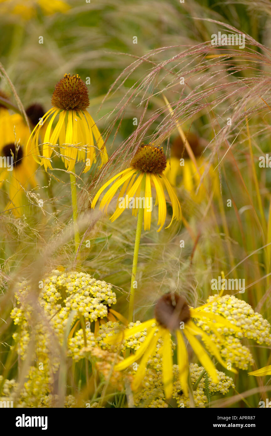 Flower show echinacea yellow mellow with achillea for Ornamental grass yellow