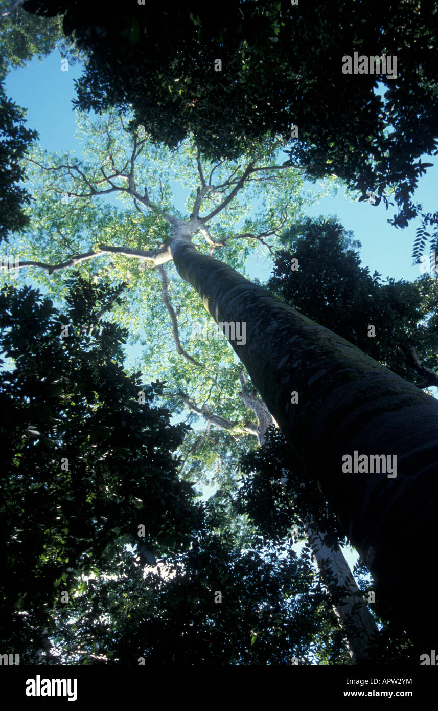giant-guapinol-tree-hymenaea-couabaril-o