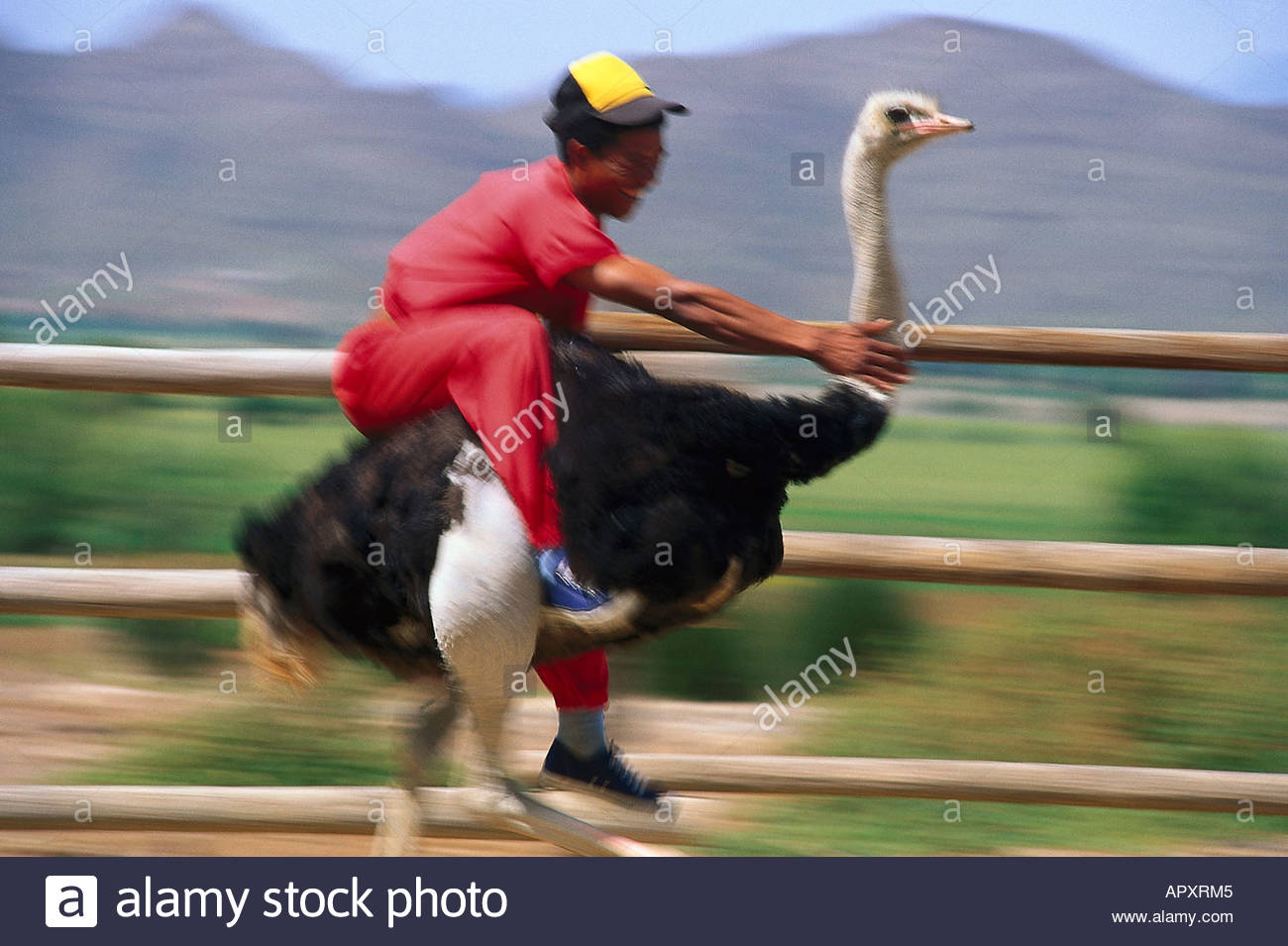 ostrich racing oudtshoorn south africa stock photo