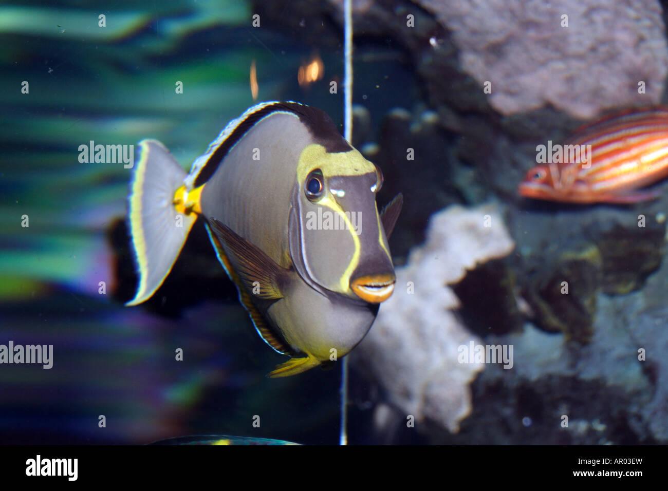 Naso Tang (Naso lituratus), Orangespine Unicornfish, Lipstick Tang ...