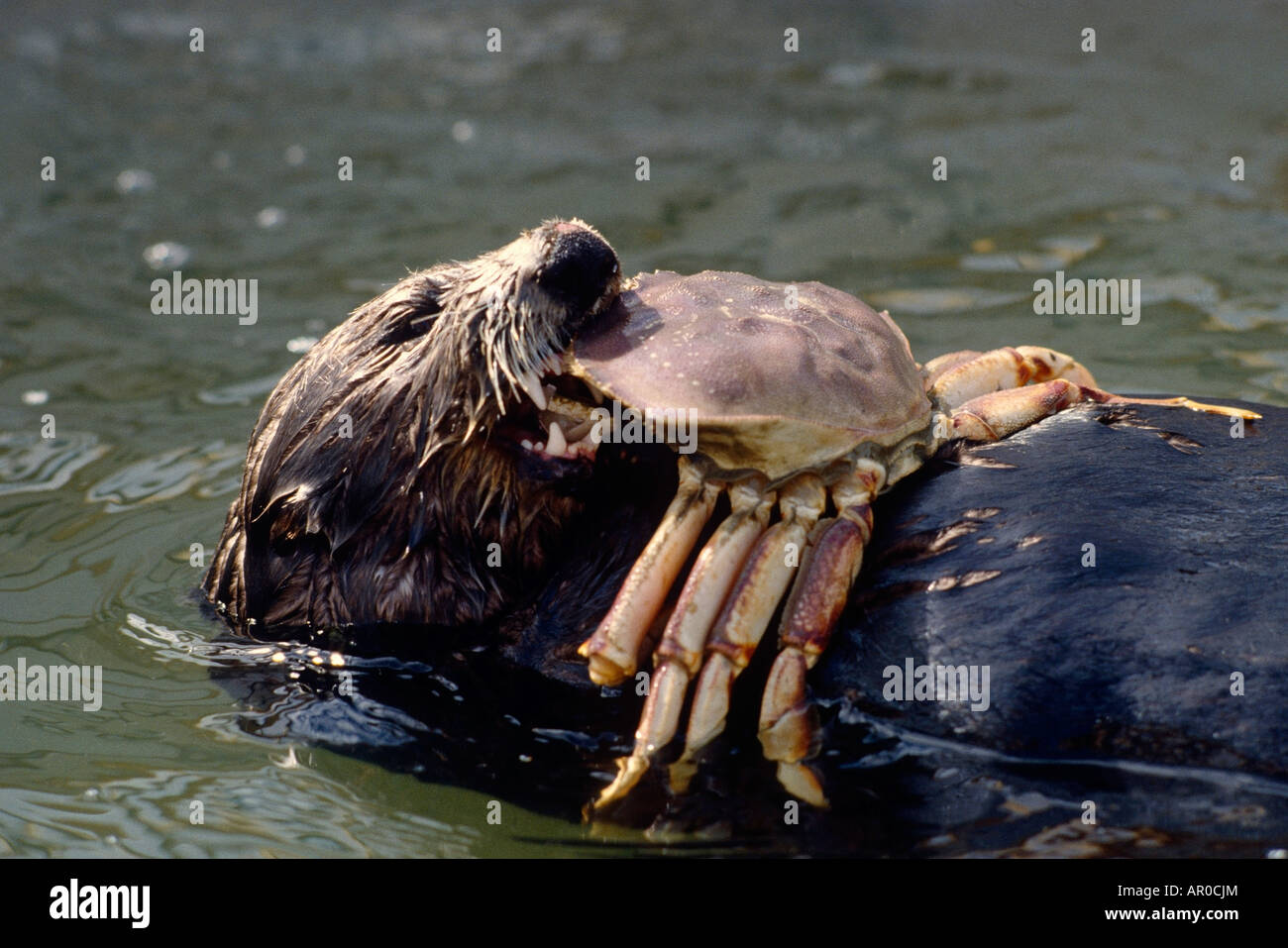 Sea Otter Eating a Crab While Swimming on Back AK/nRecovering From ...