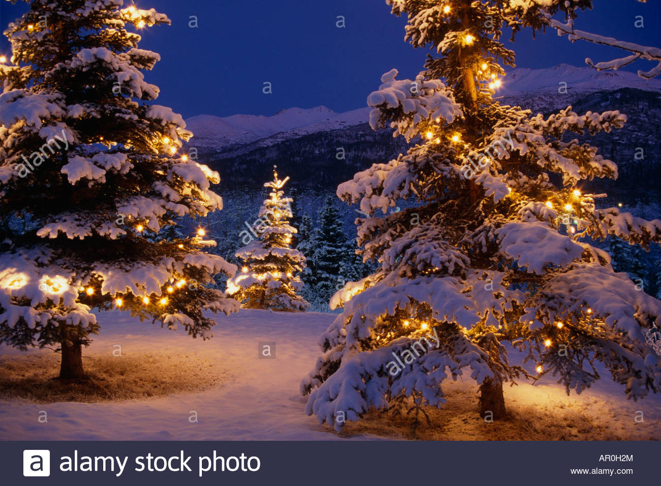 spruce trees white christmas lights anchorage sc ak winter scenic