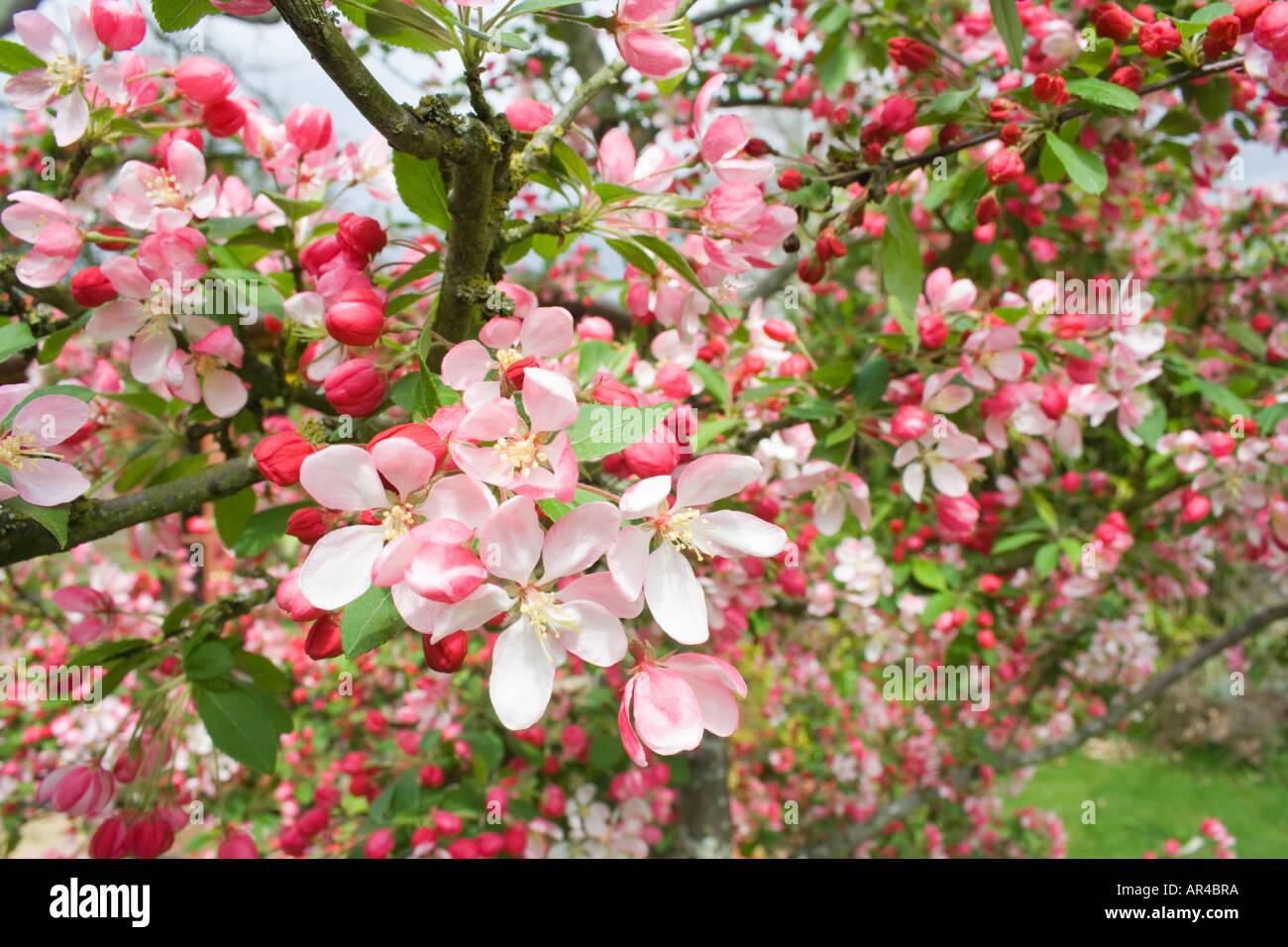 A Flowering Japanese Crabapple Tree Malus Floribunda