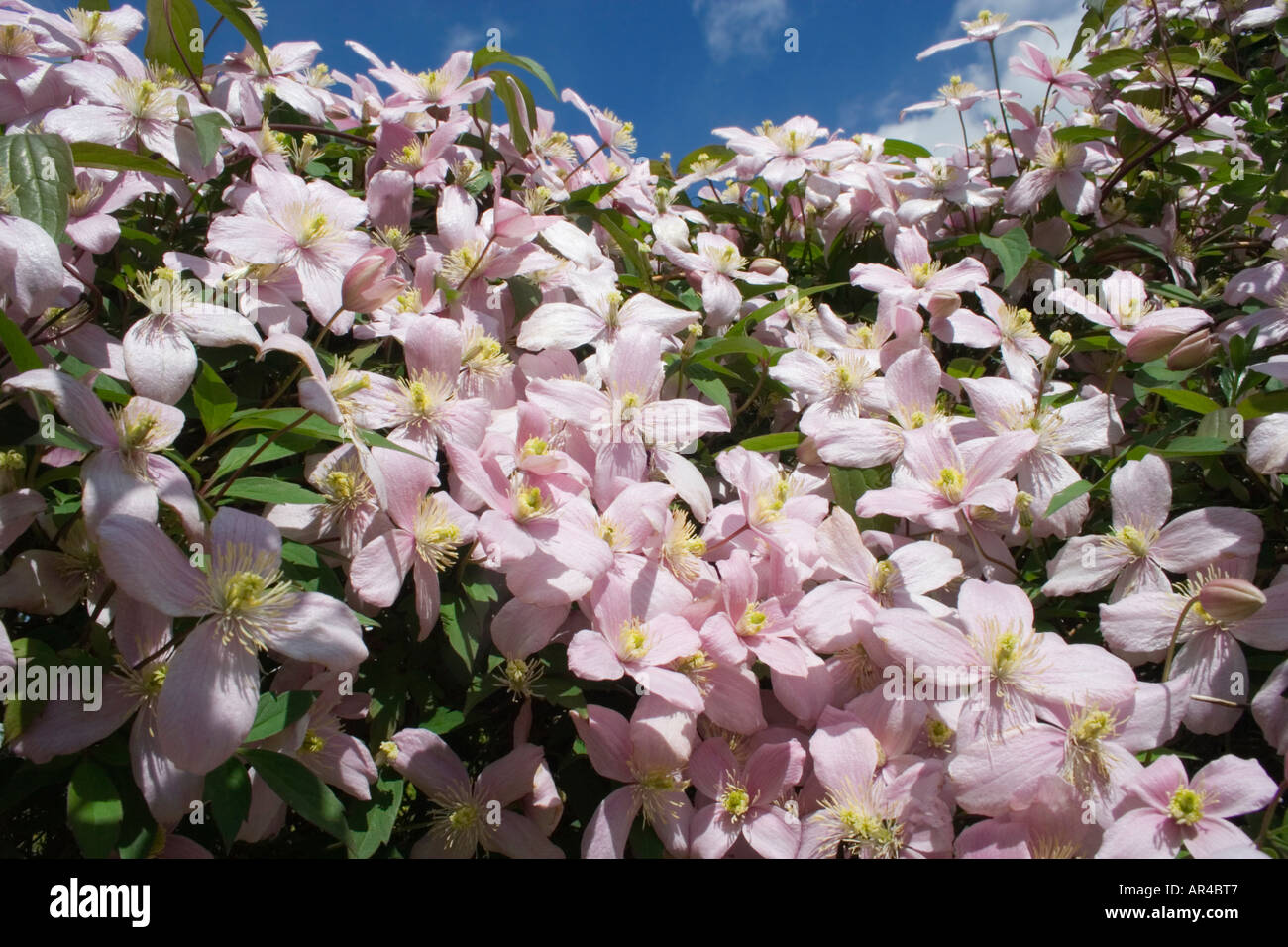 Clematis montana rubens climbing plant pink fragrant flowers stock photo royalty free image - Climbing plants that produce fragrant flowers ...