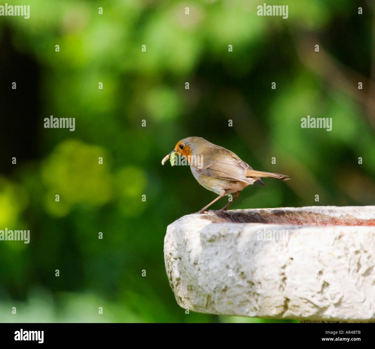 a robin with caterpillars in its beak english garden stock photo