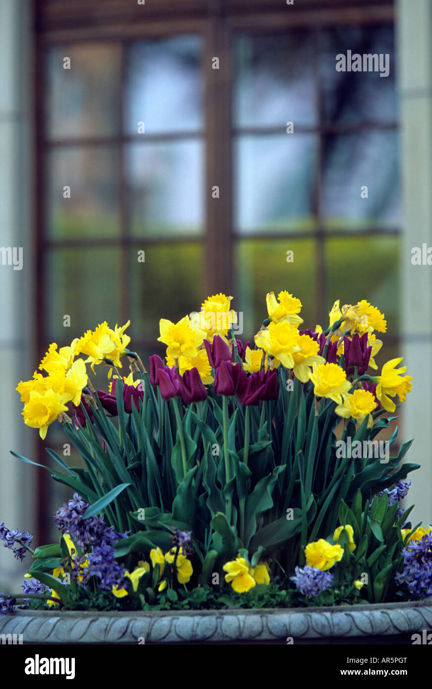 container of daffodils tulips pansies and grape hyacinths at