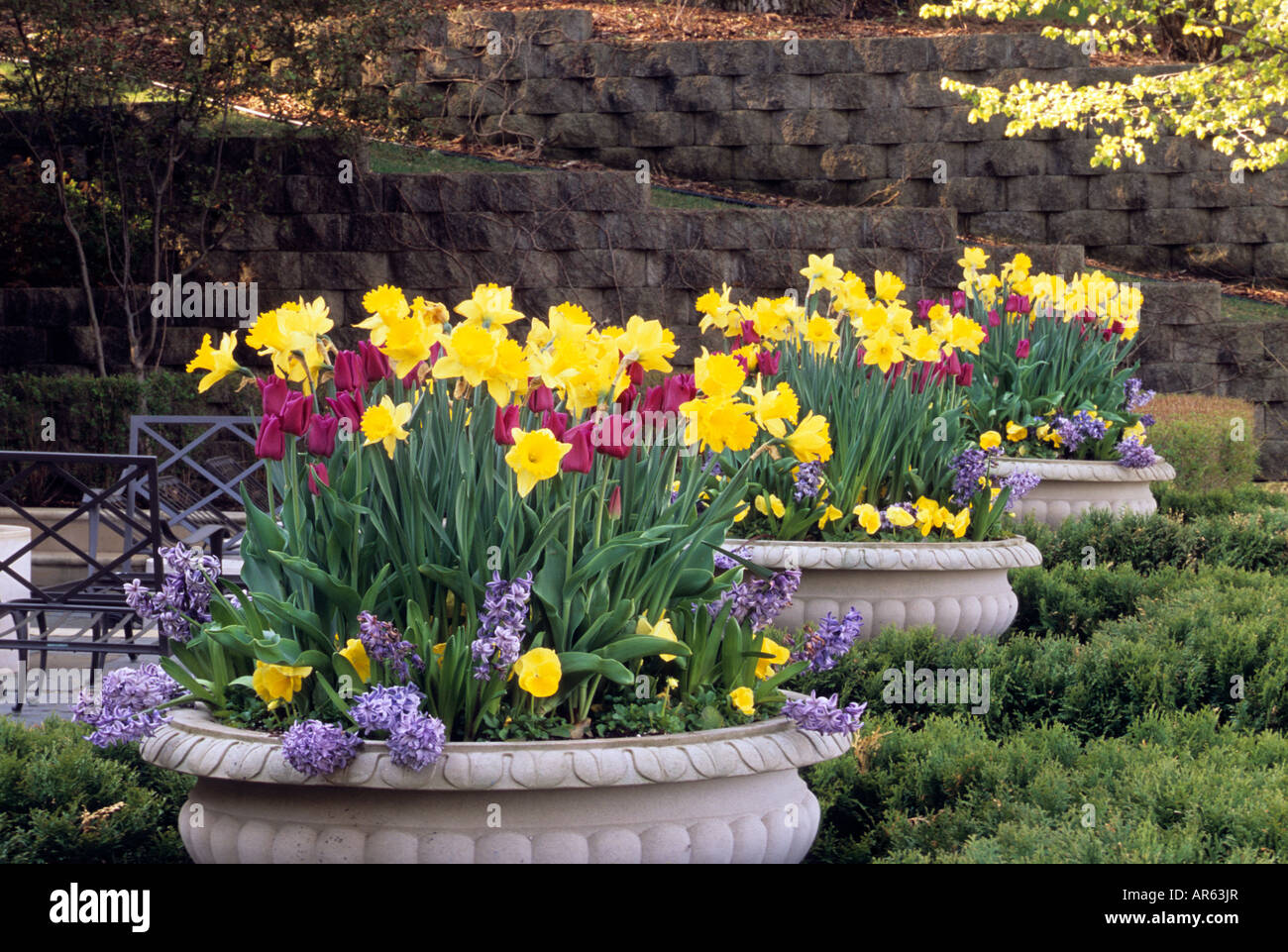 Pots of daffodils tulips pansies and grape hyacinths add spring stock photo royalty free - Planting hyacinths pots ...