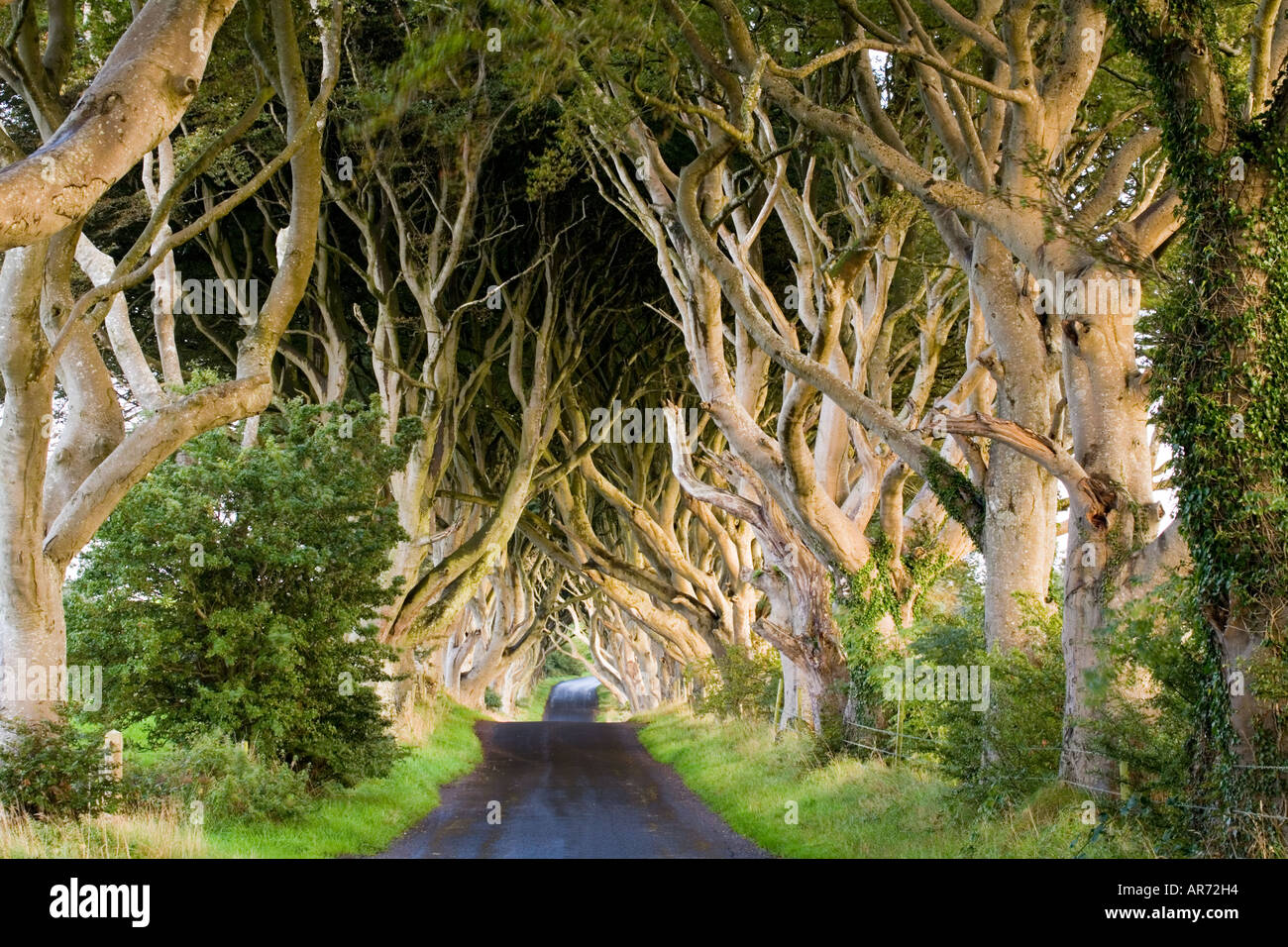 The Dark Hedges in County Antrim is used in Game of Thrones Stock ...