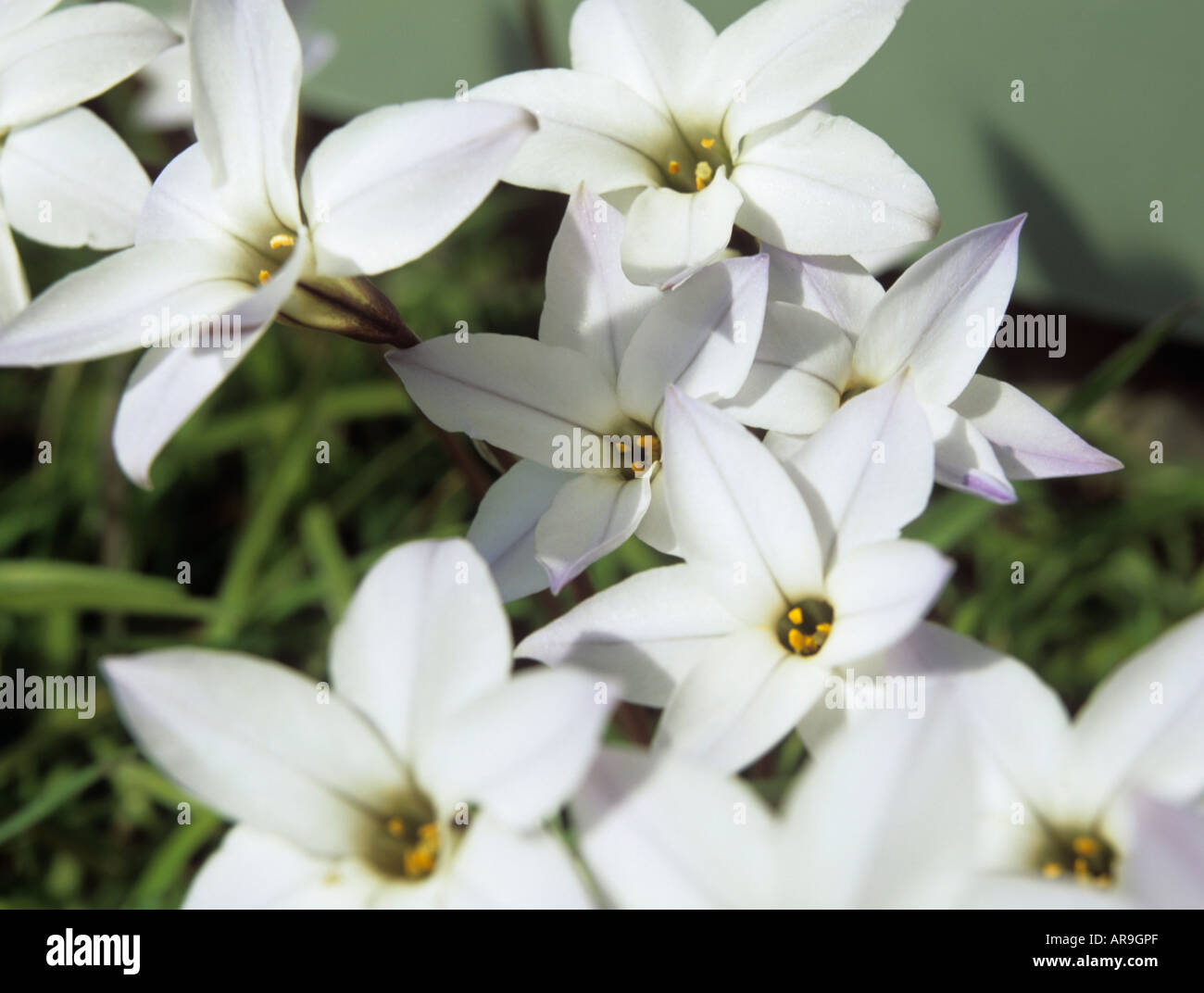 Studio Spring Starflower Close Up of the Blue and White Star |