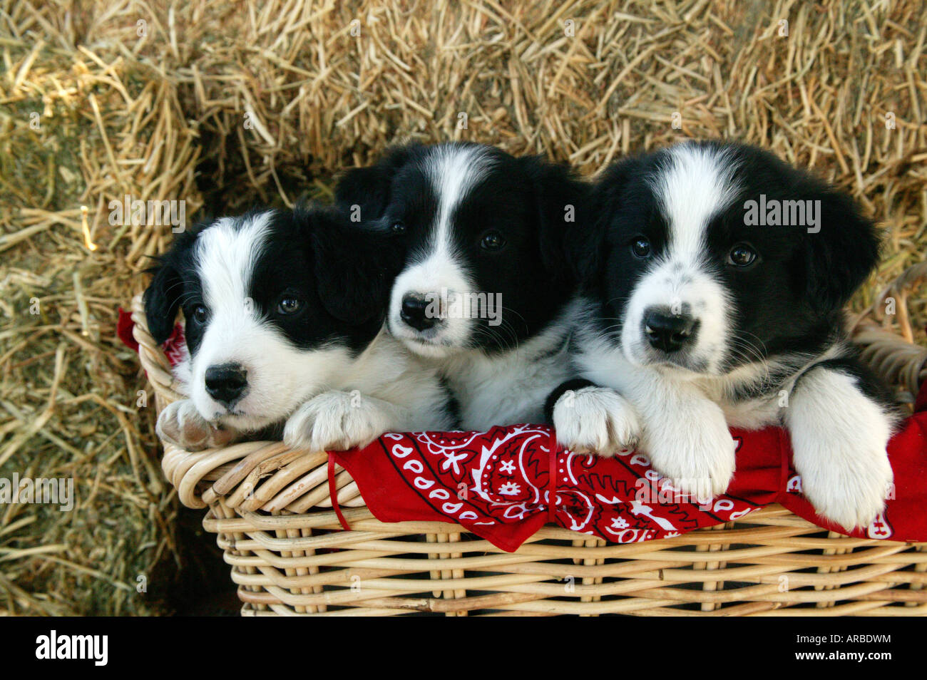 Border Collie Puppies in woven basket Stock Photo Royalty Free