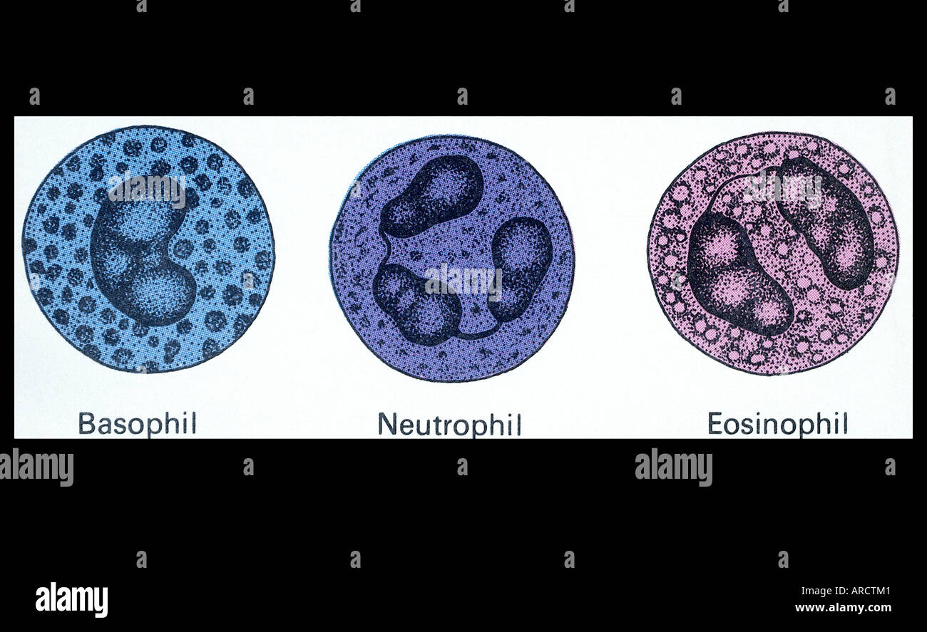 An illustration of a basophil, neutrophil and eosinophil ...