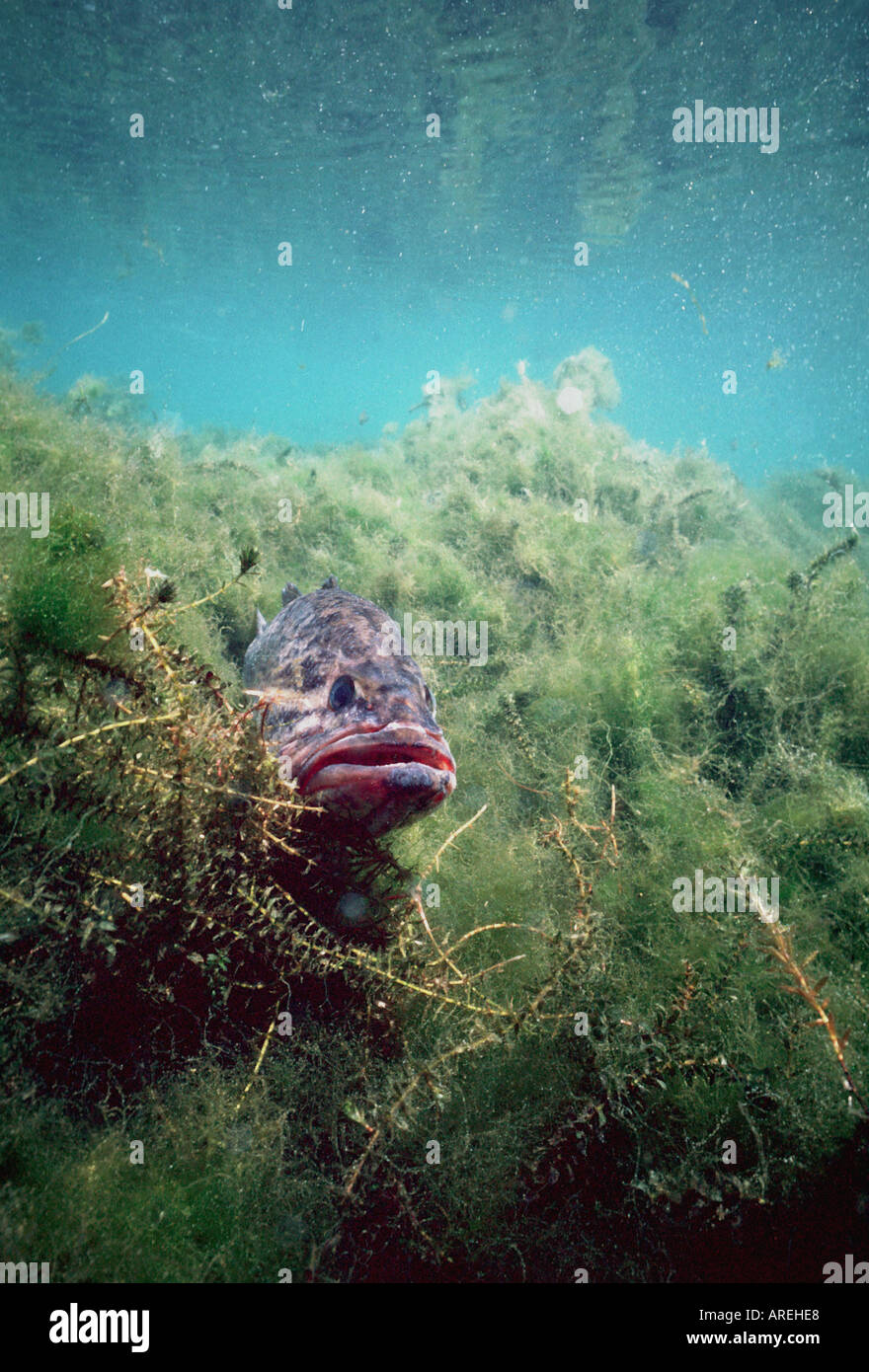 Underwater largemouth bass fishing angling north america for Bed fishing for bass