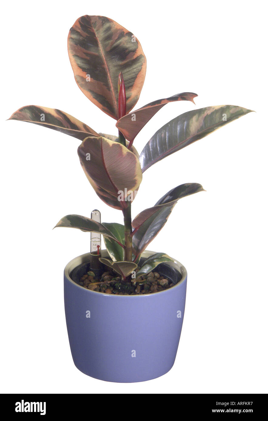 indian rubber tree rubber plant ficus elastica hydroponic plant