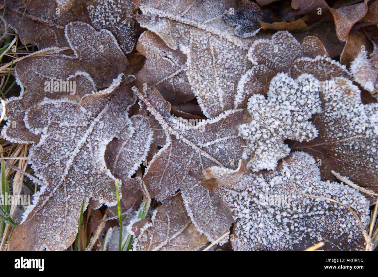 Frozen Leaves Leaf Oak Oakleaves Tree Brown Snow Ice Icy