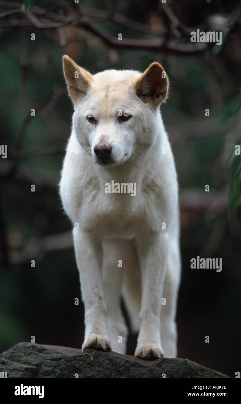 Dingo (canis Lupus Dingo), With White Coat, Australia Stock Photo ...