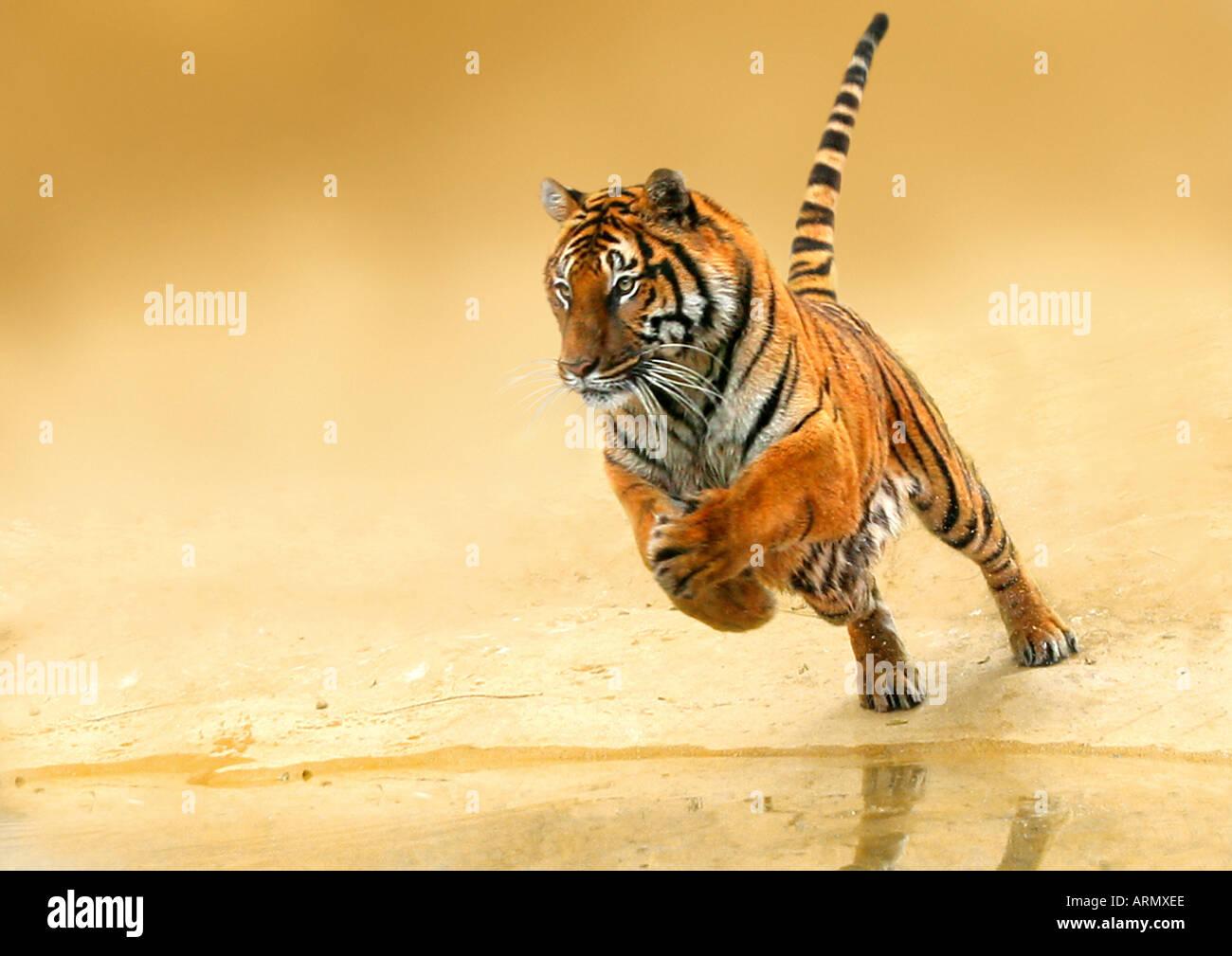 Bengal Tiger Jumping