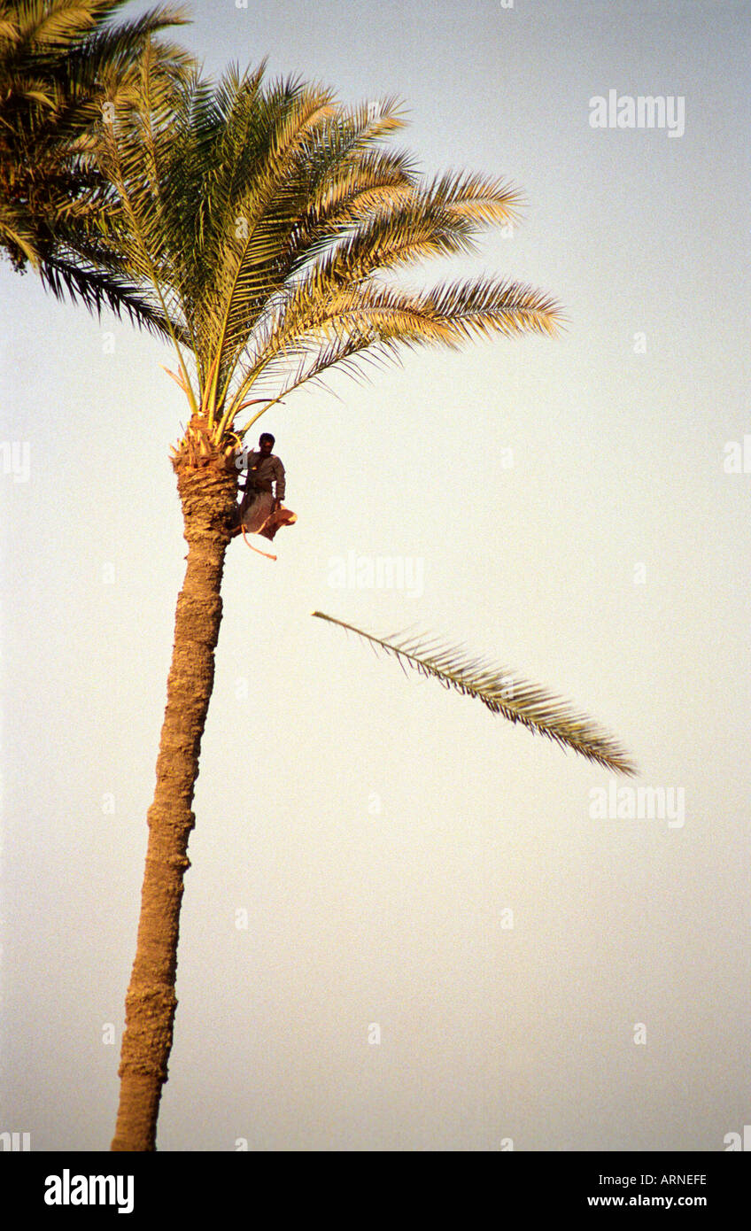 man-cutting-leaves-off-a-large-palm-tree