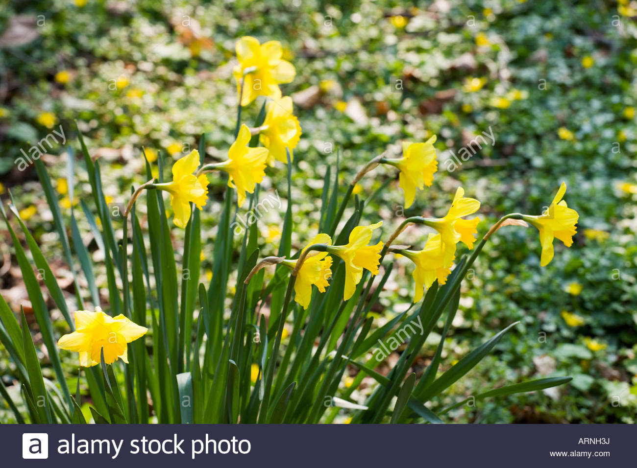 drifts of daffodils in spring stock photo royalty free image