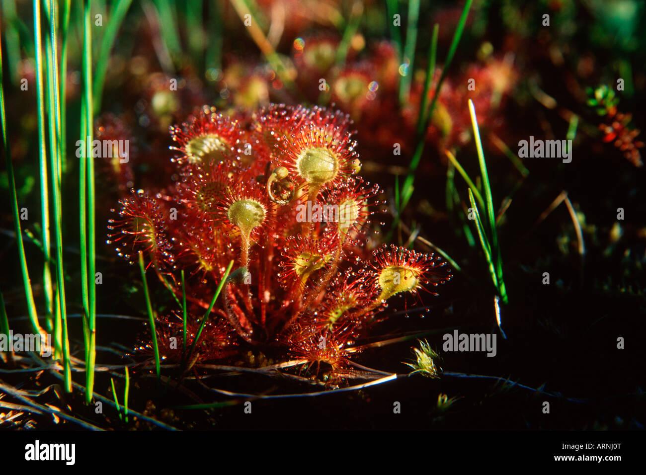 Sundew Plant Eating Stock Photo Sundew Plant