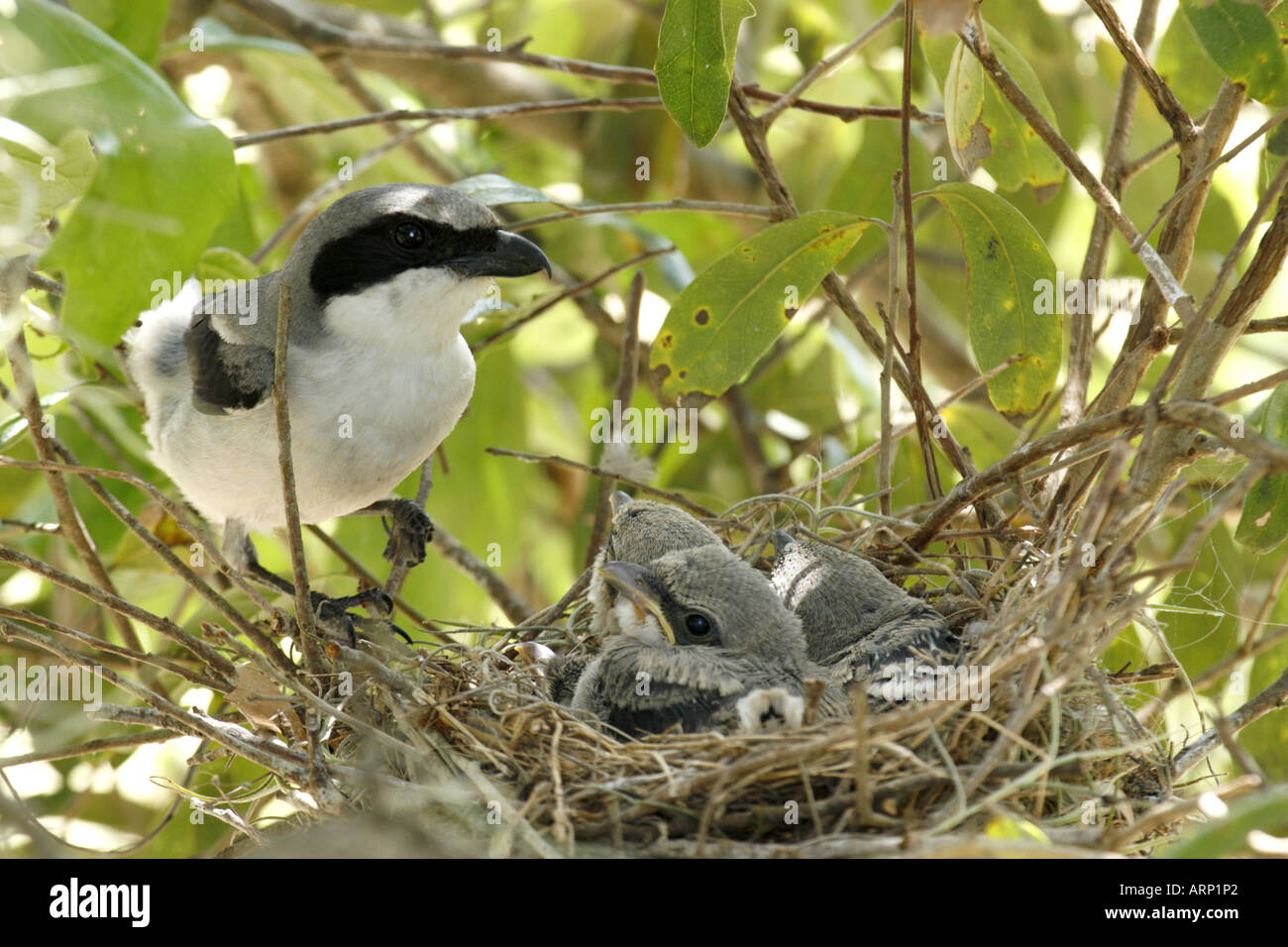 loggerhead shrike with nestlings in nest stock photo