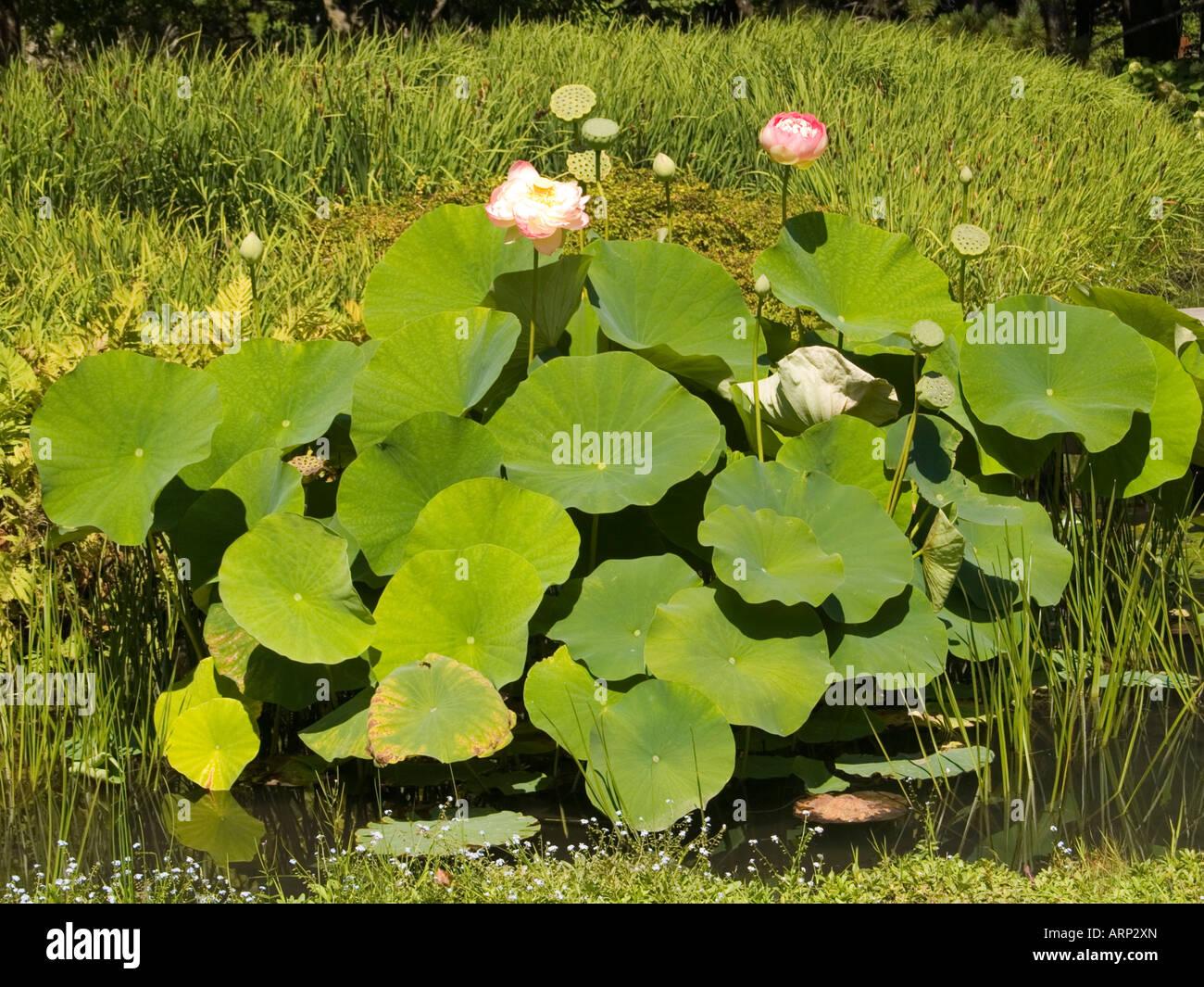Plants In The Japanese Water Garden At The Jardin Botanique De