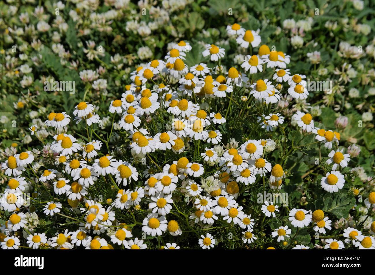 scented mayweed matricaria recutita asteraceae echte kamille stockfoto lizenzfreies bild. Black Bedroom Furniture Sets. Home Design Ideas