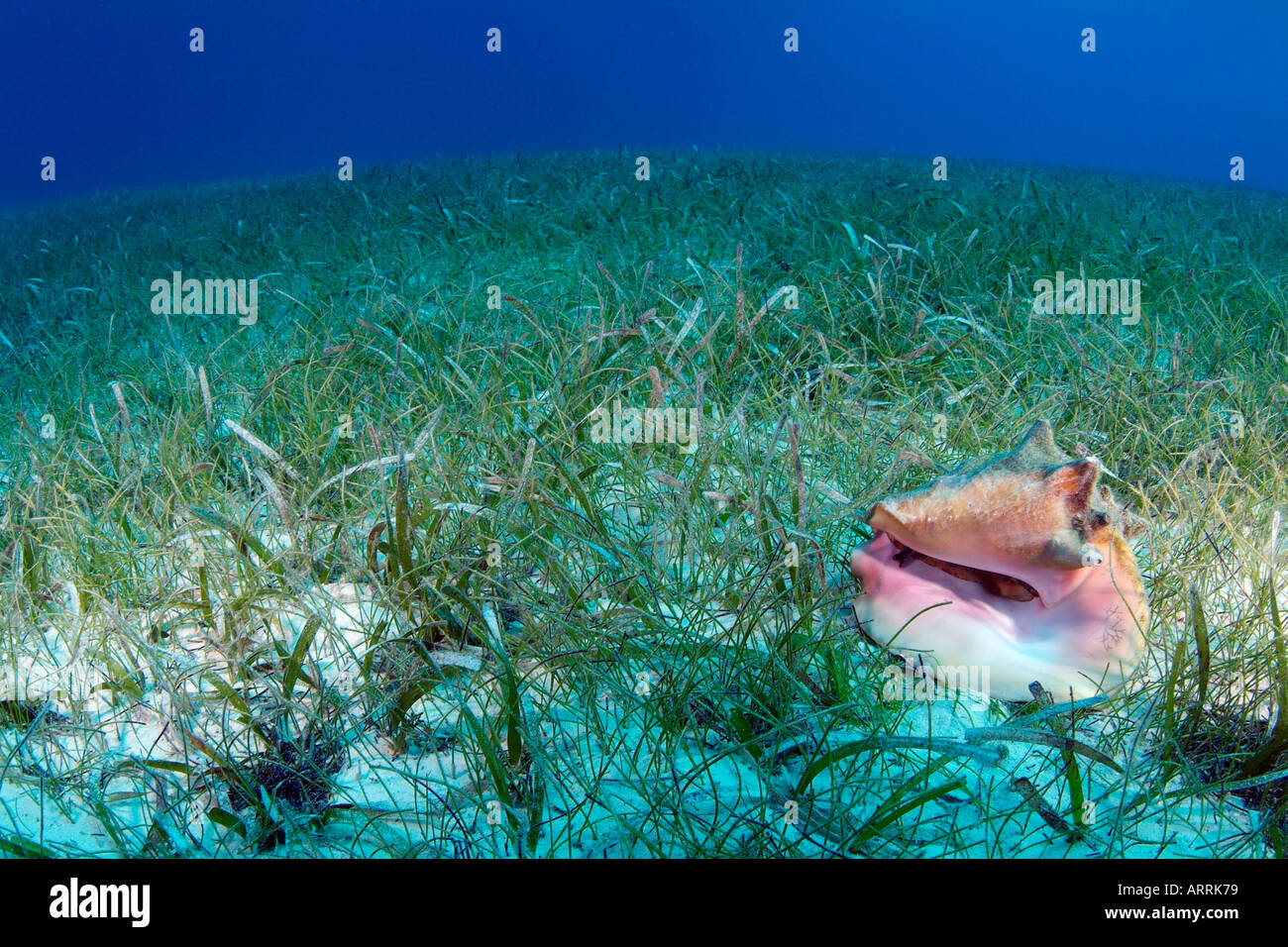 Seagrass beds animals - Queen Conch Strombus Gigas In Sea Grass Bed Belize Caribbean Sea Photo Copyright Brandon Cole