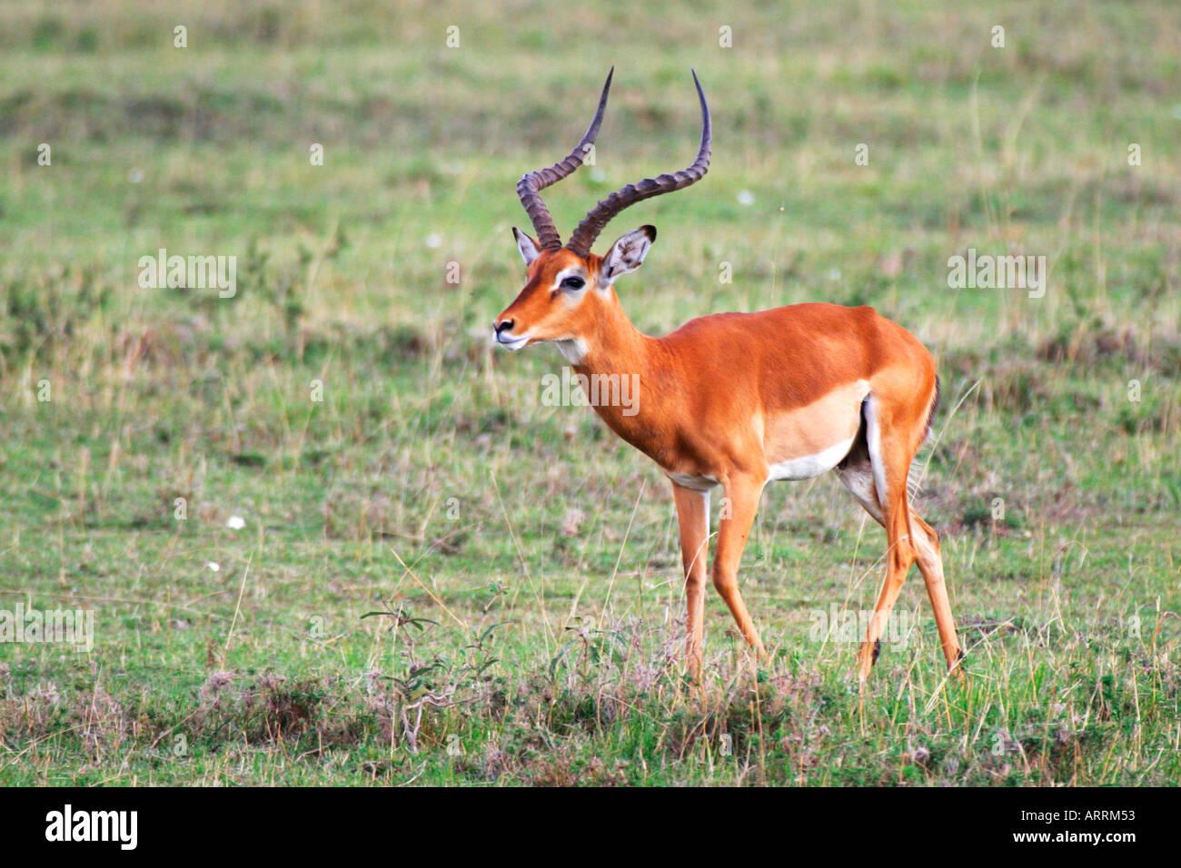 male impala african antelope impala aepyceros melampus. Black Bedroom Furniture Sets. Home Design Ideas
