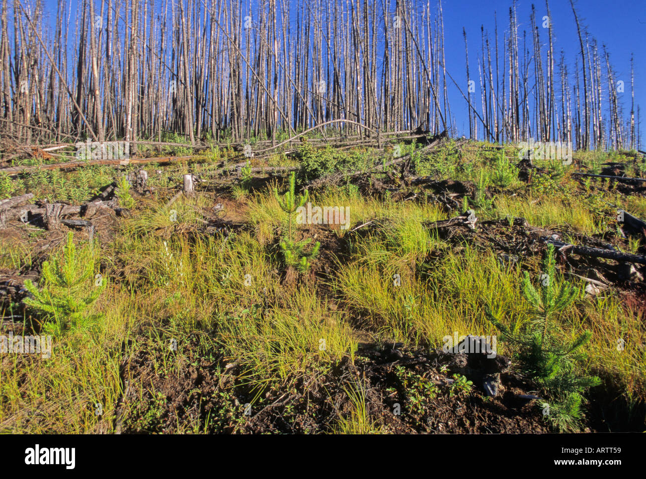 New growth after a forest fire Stock Photo, Royalty Free ...