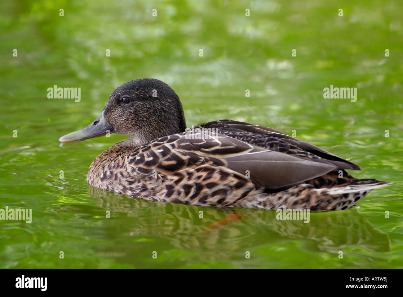 hawaiian duck stock photos u0026 hawaiian duck stock images alamy