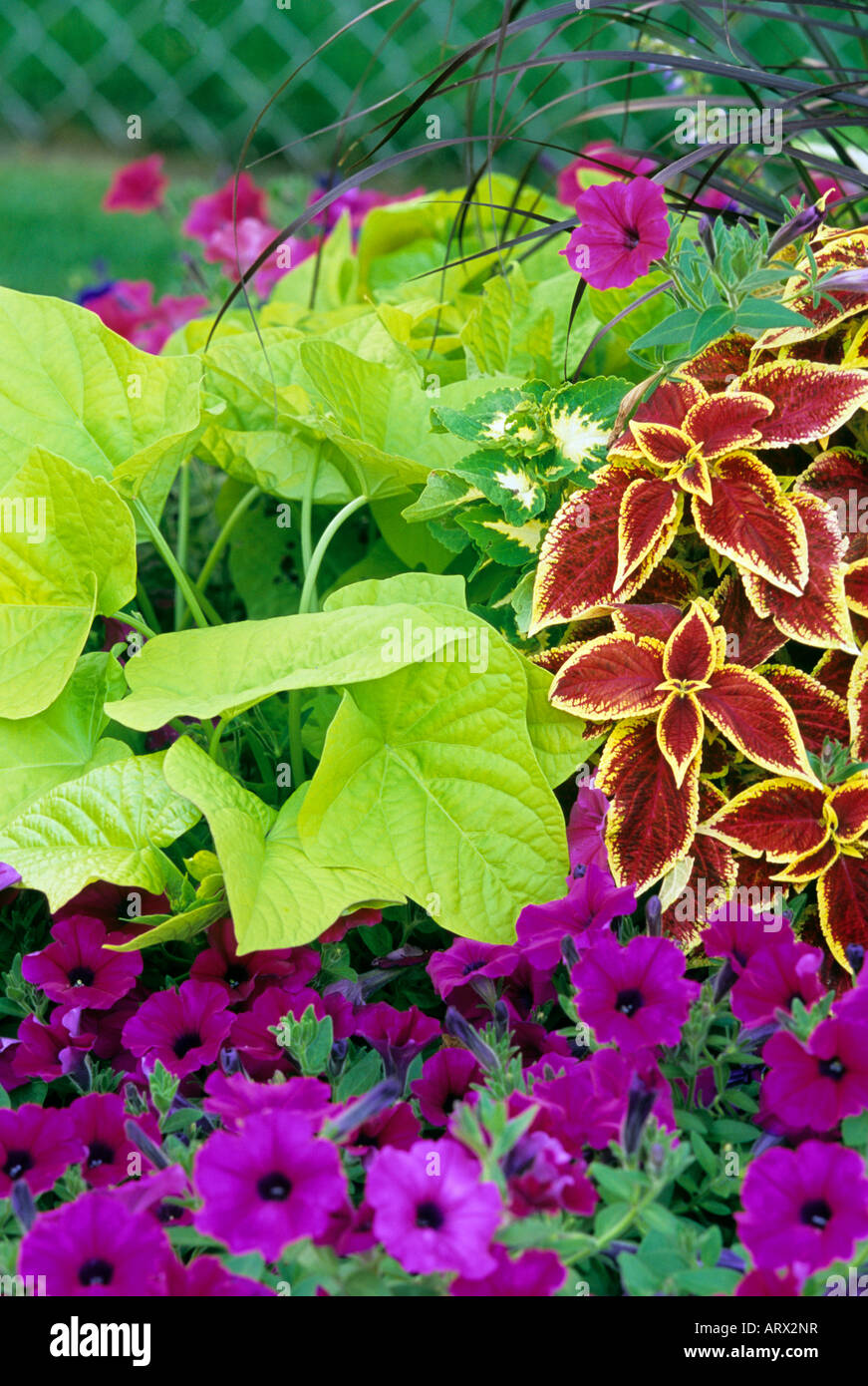 Summer garden of annuals sweet potato vine wave petunias - Wave petunias in containers ...